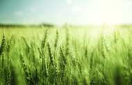 A new modified wheat variety that increases grain production by up to 12 per cent could help tackle global food shortage