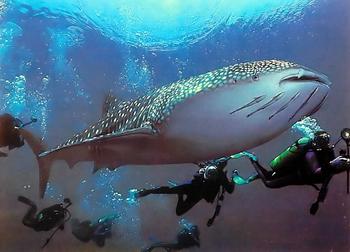 squalo-balena-immersioni-vacanze-koh-chang