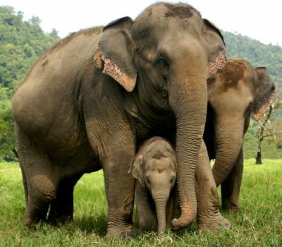 Elefanti a bagno nelle foreste del Mondulkiri in Cambogia