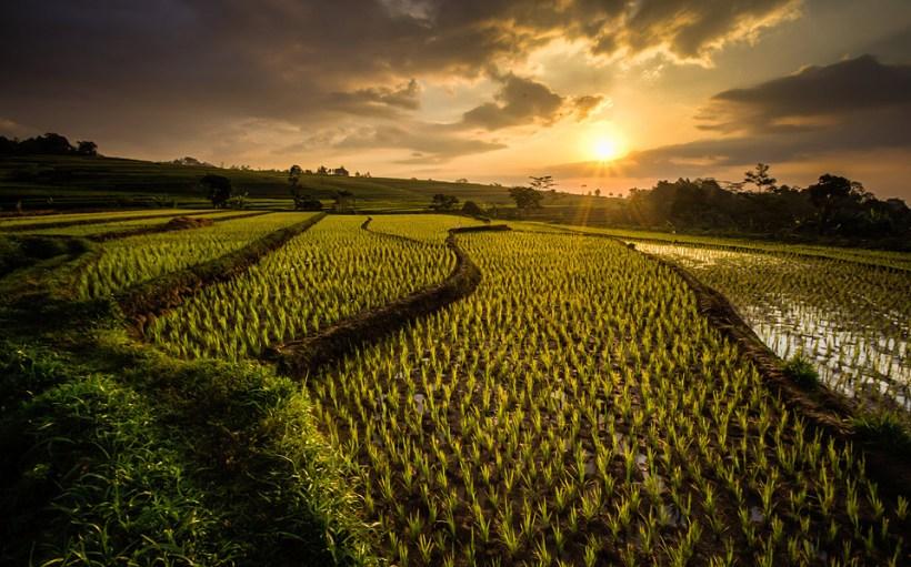 campi riso java indonesia
