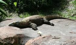 Il leggendario drago di Komodo