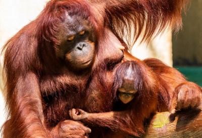 Una mamma di orangutan con il suo piccolo