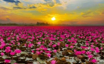 red lotus sea in udon than - thailandia