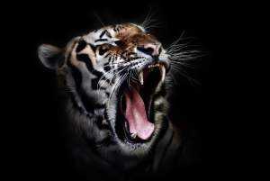 lithophane-tiger-original