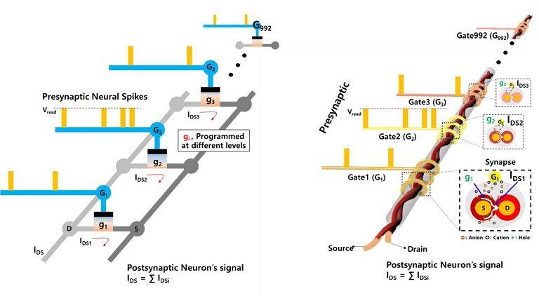 Neurotransistores funcionam e se conectam mutuamente como neur