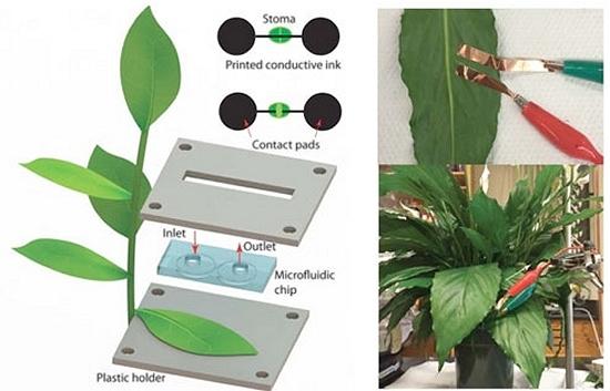 Sensores impressos em plantas mostram hora da irrigação