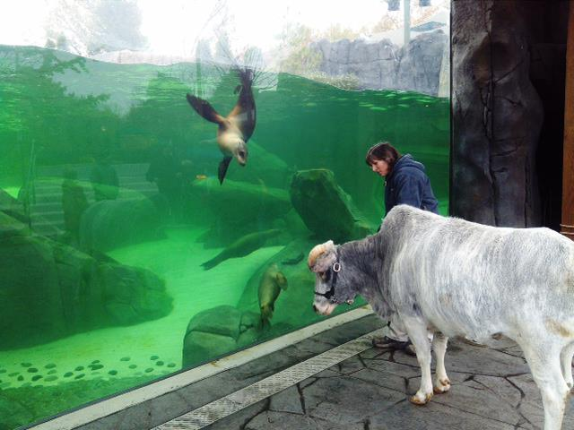 Bubbles the dwarf zebu visits the PGAV Destinations-designed Sea Lion Sound.  Courtesy St Louis Zoo
