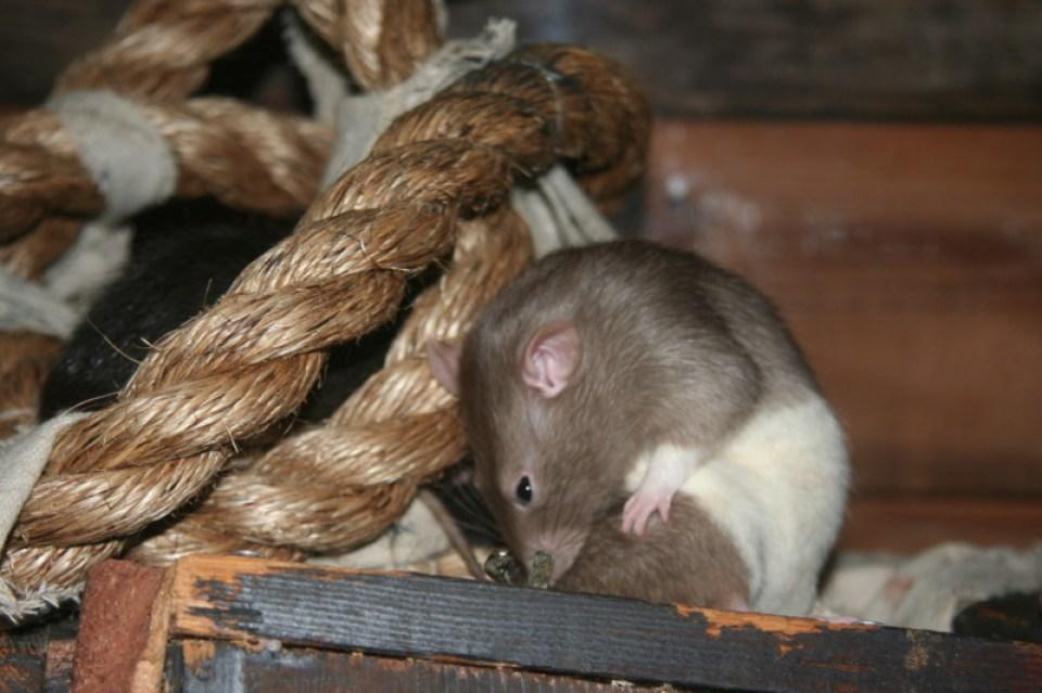 Rat Photo 1
