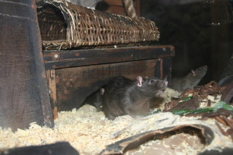 Rat Photo 4