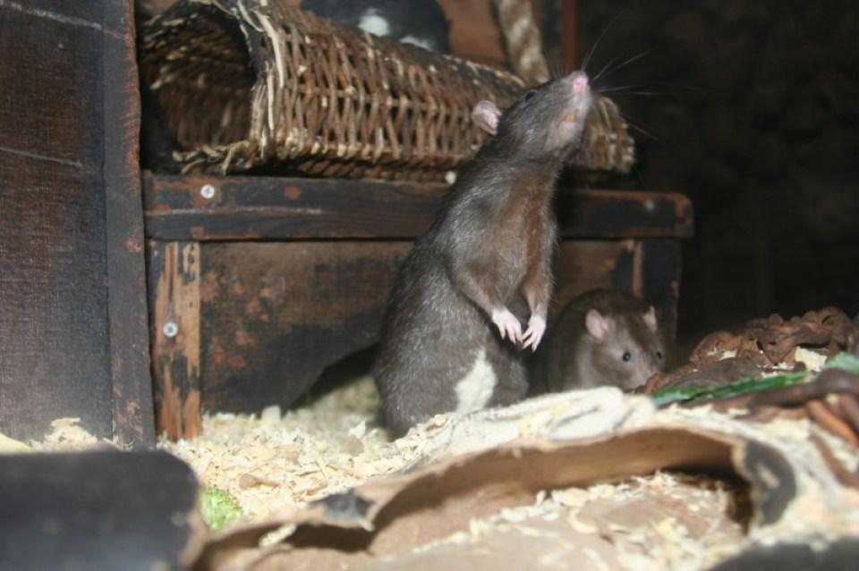 Rat Photo 5