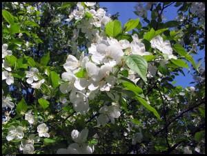 White_Flowers_by_Melens_rayne