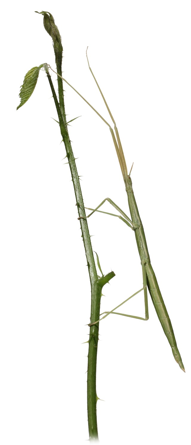 Clonopsis gallica