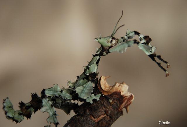 Extatosoma tiaratum lichen