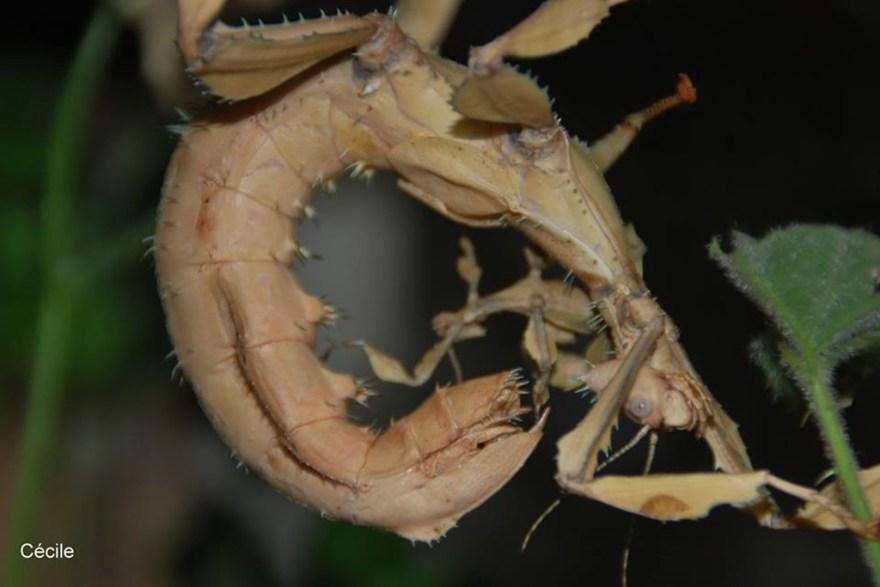 Extatosoma tiaratum Adulte