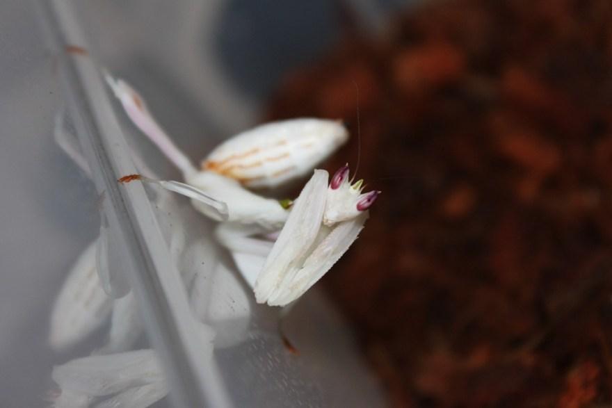 Hymenopus Coronatus (2)