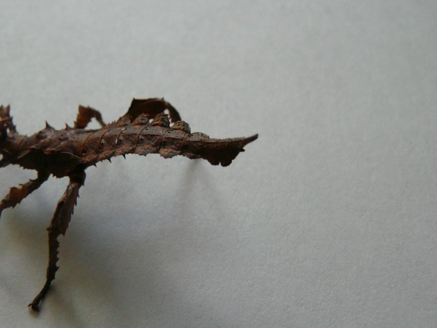 Heteropteryx dilatata femelle L2