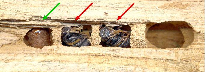 abeille charpentiere ou xylocope xylocopa violacea biologie et developpement