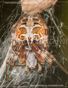 Full sized image of the orb weaver also rh insectidentification