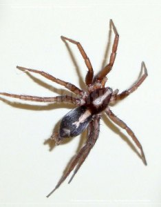 Thumbnail image of the parson spider also rh insectidentification