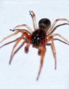 Thumbnail image of the running spider also rh insectidentification
