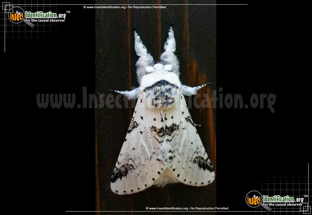 ZigZag Furcula Moth