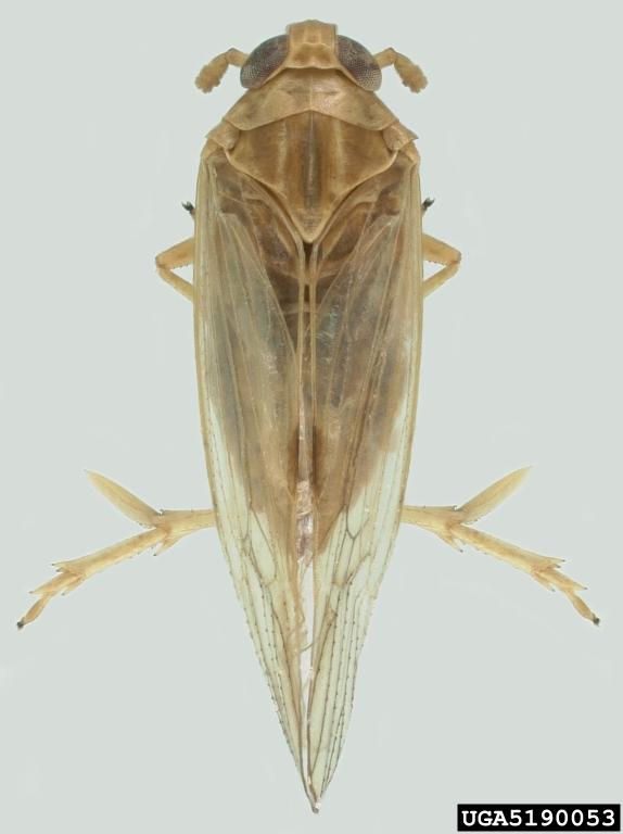 Adult Brown Plant Hopper