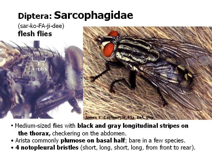 Diptera Flies