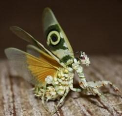 Pseudocreobotra Wahlbergii Spiny Flower Mantis Female