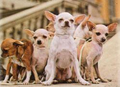 Chihuahua Foto caratteristiche e prezzo della Razza