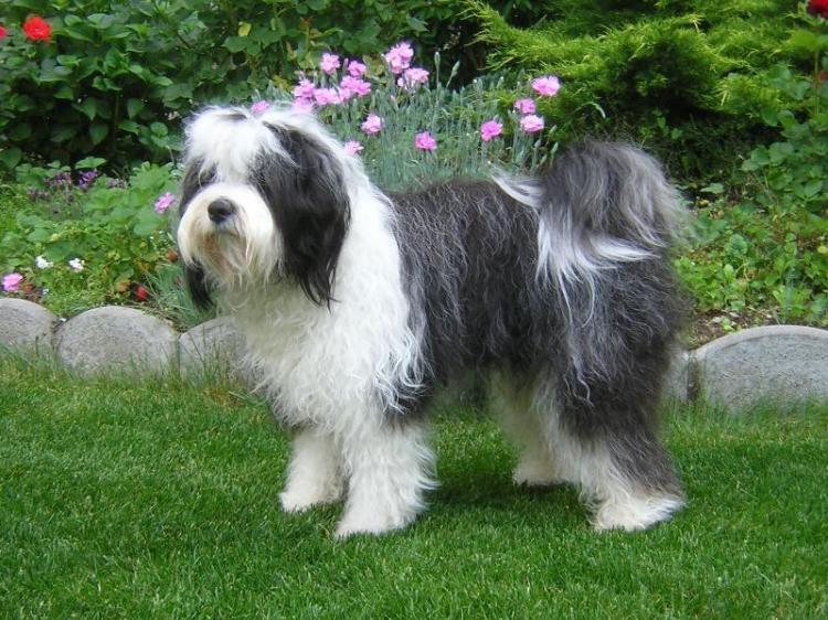 Tibetan Terrier: Foto, caratteristiche e prezzo della Razza. -
