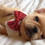 25 Beautiful Bulldog Puppies That Will Melt Your Heart Inside Dogs World