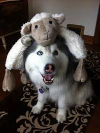13 Awesome Halloween Costume Ideas For Your Husky - Inside ...