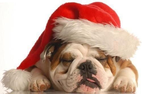 Cute English Bulldogs Dressed For Christmas Inside Dogs