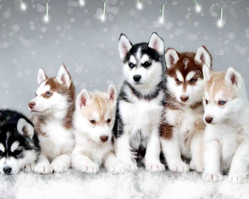 What breed is a Pomsky?