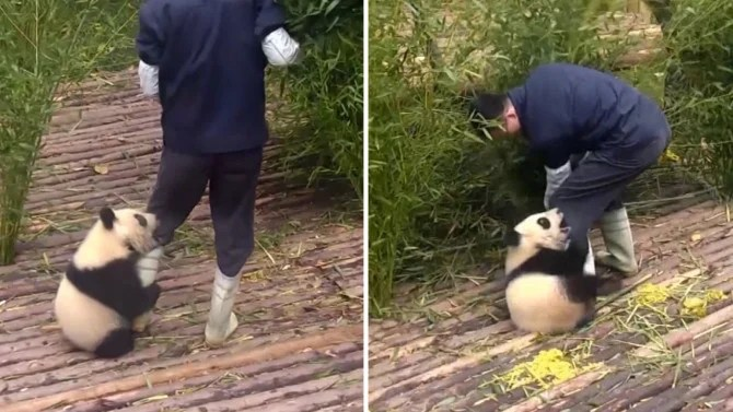 Care Bear Affectionate Panda Cub Clings To Workers Leg Inside Edition