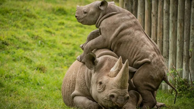 Baby Rhino Begs Mom For Attention On World Rhino Day