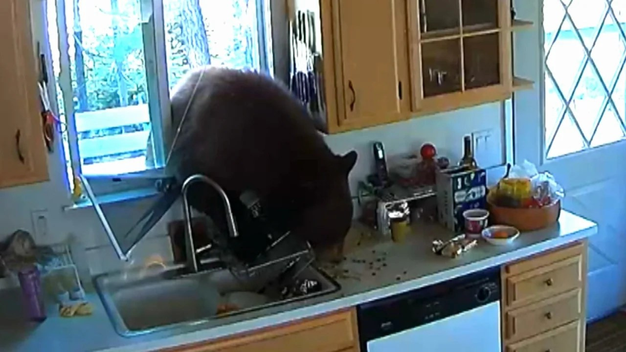 Hungry Bear Helps Itself to Food After Breaking Into