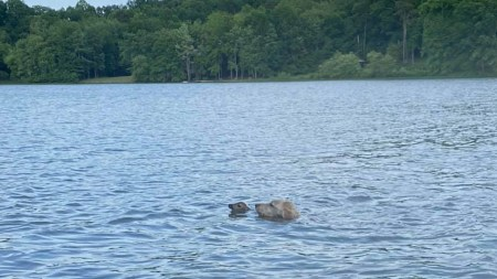 Video of the Day: Goldendoodle Rescues Fawn From Drowning in Virginia Lake and the Fawn Came Back to Thank him