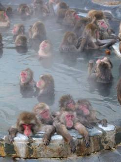 Yudanaka's snow monkeys