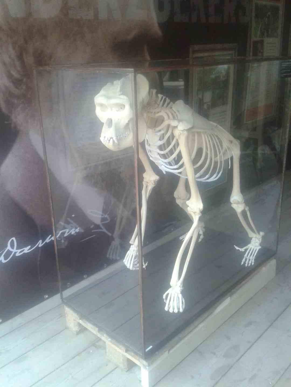 Skeletten | Gorilla (Zilverrug) | Apenheul Primate Park