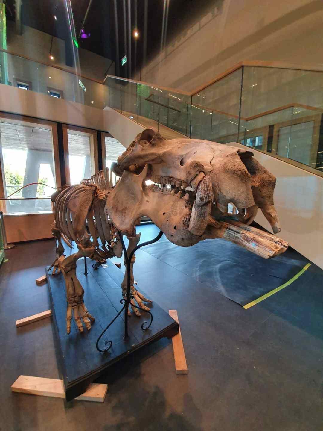 Skeletten | Opbouw historisch skelet Nijlpaard uit 1884 | Naturalis Biodiversity Center