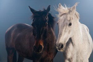 A photo of two horses in front of a gray background.