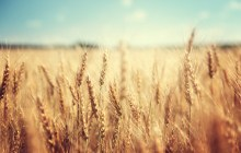 3 Reasons to Never Eat Wheat Again
