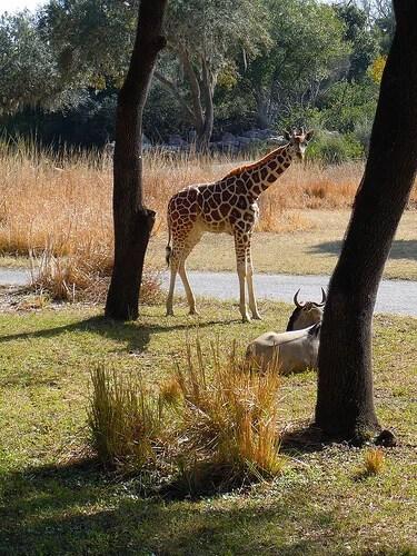 Giraffe on savannah