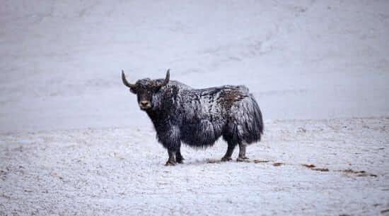 Wild Yak Bull
