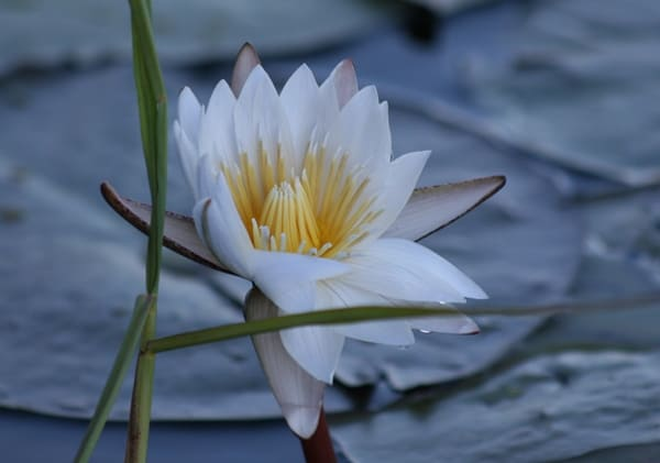 Water lily flower visible from a mokoro boat on a safari through the Okavango Delta in Botswana, Africa
