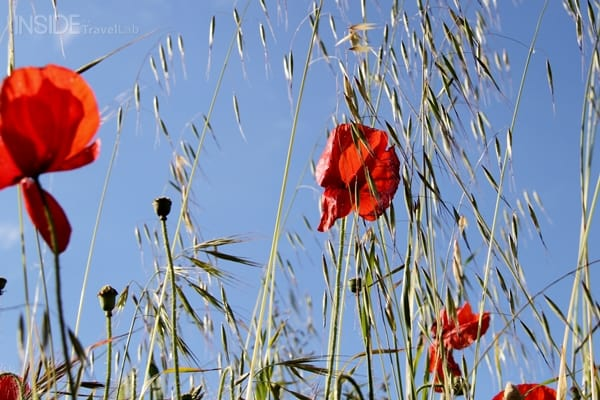 Poppies on the French Atlantic coast