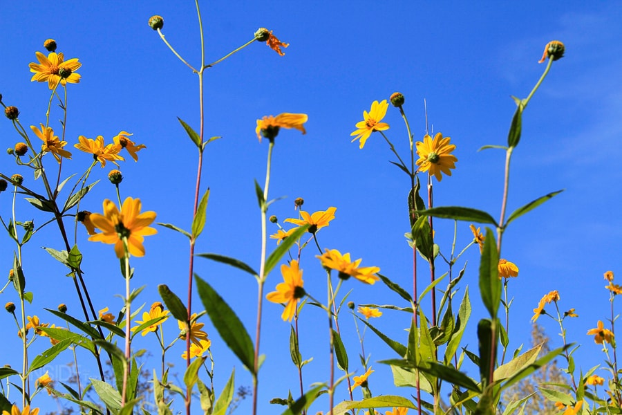 Walking the Amalfi COast - Yellow flowers against blue sky