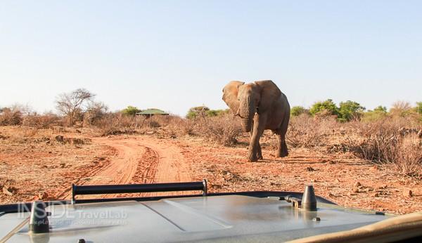 Elephant approaching in Madikwe