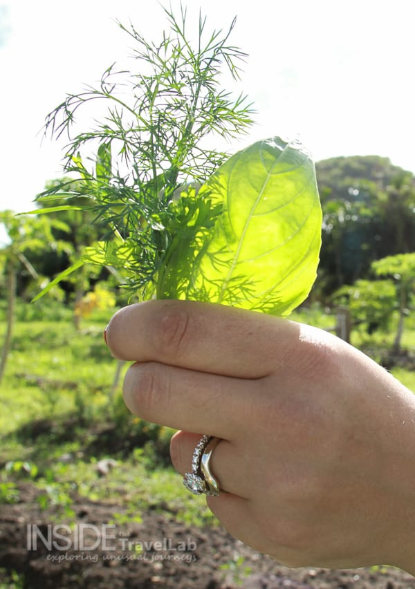Holding herbs to the sun in Galley Bay, Antigua